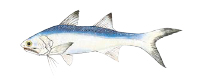 Illustration of a Blue Salmon