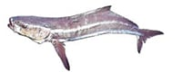 Illustration of a Cobia