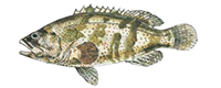 Illustration of a Cod and Groper