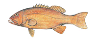 Illustration of a Coral Trout