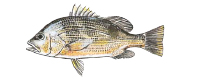 Illustration of a Golden Snapper