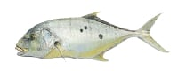 Illustration of a Golden Trevally