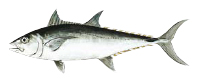 Illustration of a Longtail Tuna