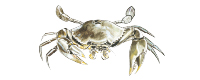 Illustration of a Mud Crab