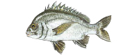 Illustration of a Pikey Bream