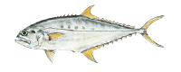 Illustration of a Queenfish