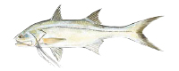 Illustration of a Threadfin Salmon
