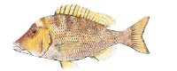Illustration of a Tricky Snapper